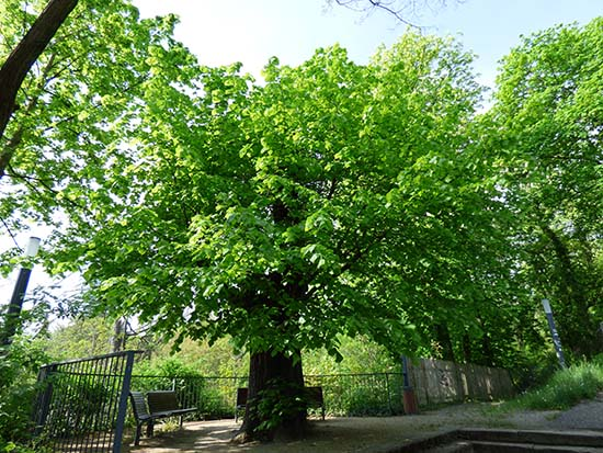 ゲーテの時代からある木