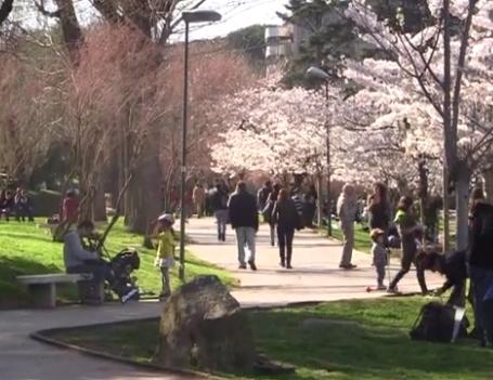 ローマの桜が満開を迎えたようです (動画あり)