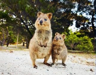 西オーストラリアからやって来た世界一幸せな動物「クオッカ」